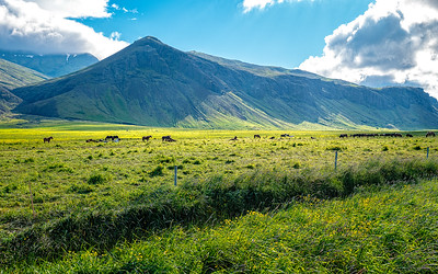 Lots of beautiful horses in Iceland.