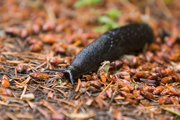 This is a really large slug (too bad the depth of field is so narrow)