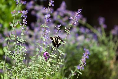 A butteryfly lands in the garden