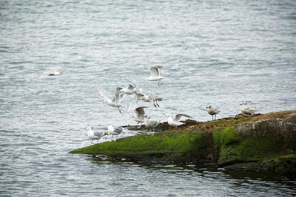 The remaining gulls take flight