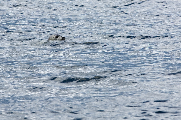 This sea lion sticks close to shore, well aware of the nearby predators