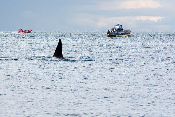 This orca is likely a male