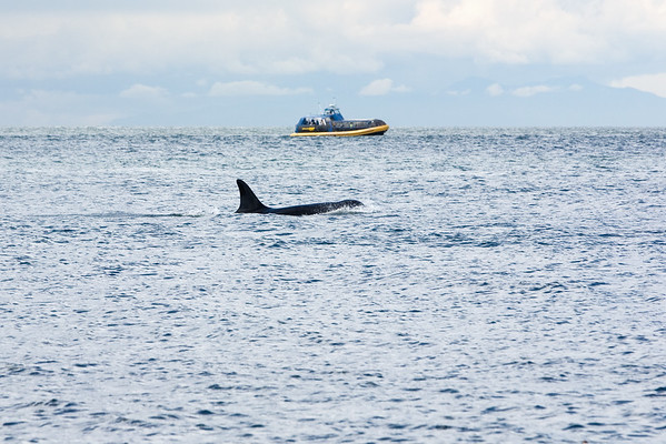 The pods of orca's have caught the attention of other boats in the vicinity
