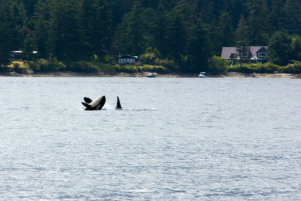 I also catch a distant shot of a breaching killer whale