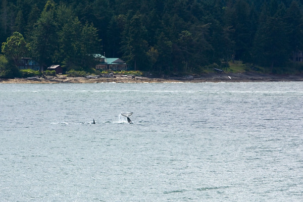 Too bad I'm not on THAT ferry...I'm just a bit too far away to get a good shot of the orca's tail