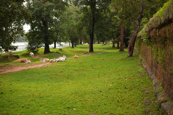 Cows lie near Angkor Wat's outermost wall