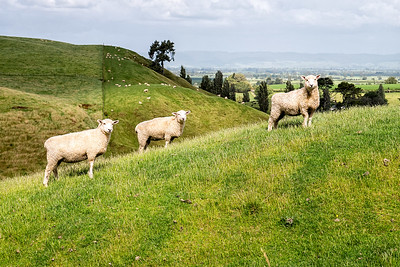 Sheep and landscape in Matamata, NZ.