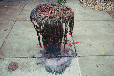 A sickly plant in Pittsburg the day after a cold snap