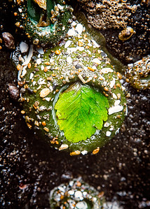 Sea Anemone with Green Leaf