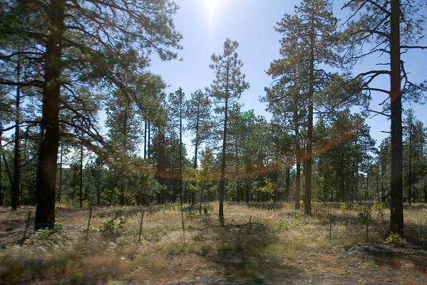 High shutter speed shot of Ponderosa Pine Trees