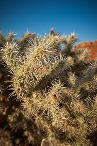 Prickly Choalla Cacti