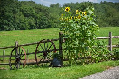 Wagon wheels and sunflowers