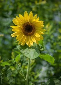 A sunflower rises over the garden