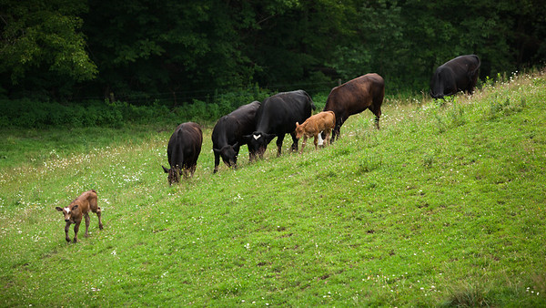 I see two calves wandering about with the herd, but am not certain if either is the newborn
