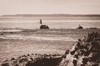 A blue heron takes flight from a rock on Whidbey Island as a seagull looks on.