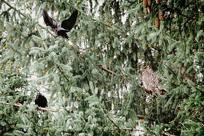 Crows Harassing a Great Horned Owl III
