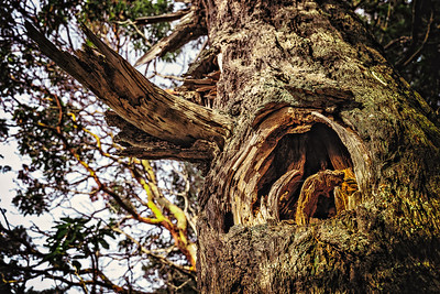 A hold in tree left by a broken limb in Washington Park, Anacortes, Washington.
