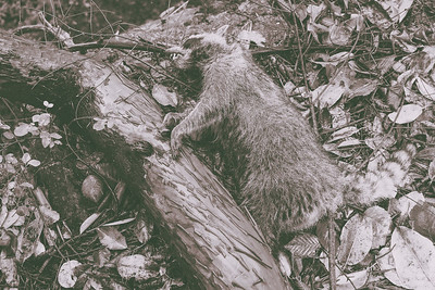 A dead raccoon lies next to a fallen madrone tree trunk. Seen near the ferry waiting area on Lopez Island.