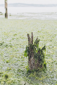 Rotting piling stump draped in seaweed near ferry terminal in Anacortes.