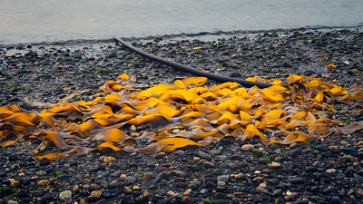 Golden Seaweed