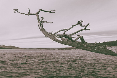 A dead, barren tree hangs out over the ocean in Washington Park, Anacortes, Washington.