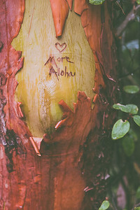 "A madrone tree with ""More Aloha"" carved into the trunk."