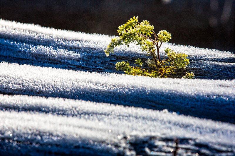 A young tree sprout growing out of a dead tree along the Carbon River.3