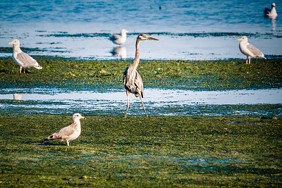 A great blue heron searches the stinky muck for a meal at  Dungeness Landing State Park