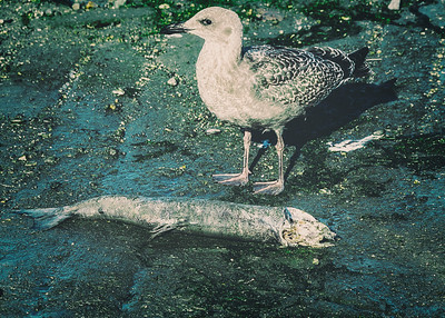 Seagull prepares to dine on a dead fish that has washed ashore