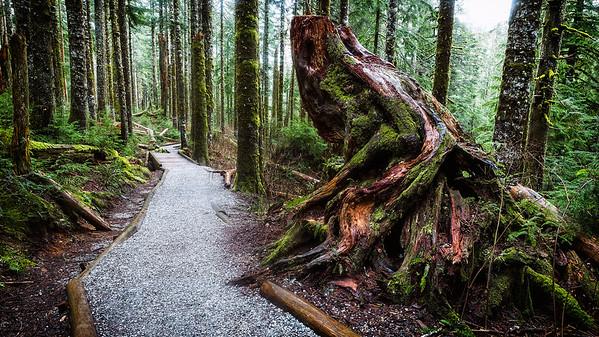 Grand Ole Tree Trunk