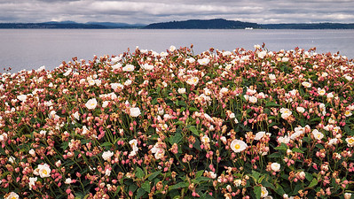 Flowers in bloom along Beach Drive SW overlooking the Salish sea.