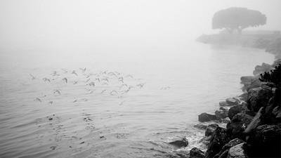 Shore birds in flight during a foggy morning at Alki beach