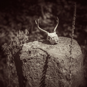 A deer skull rests on a large boulder inside Earth Sanctuary, Whidbey Island.
