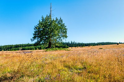 A tree you can't miss admiring from the WA-525 in the Greenbank off-leash area on Whidbey Island.