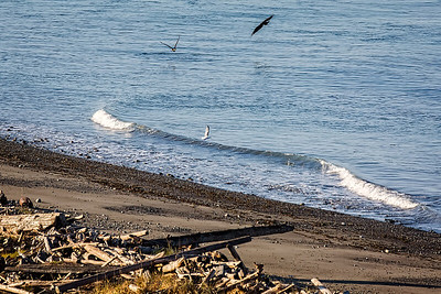 Two Bald Eagles and a Seagull