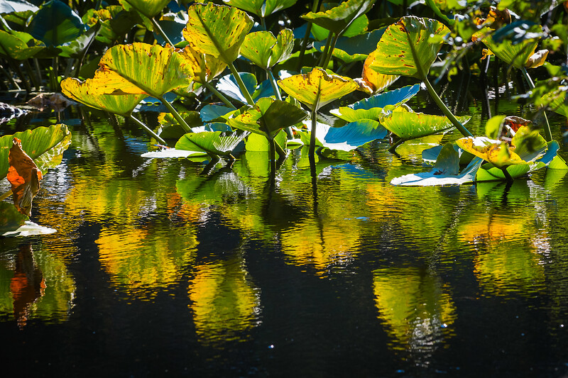 Water lily fronds in a pond inside of Earth Sanctuary on Whidbey Island.