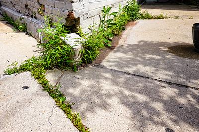 Weeds growing in the sidewalk cracks in Milwaukee, WI.