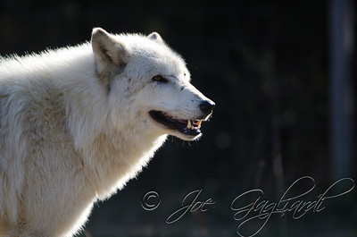 20120107-Wolves-023-17