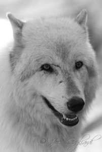 20120107-Wolves-024