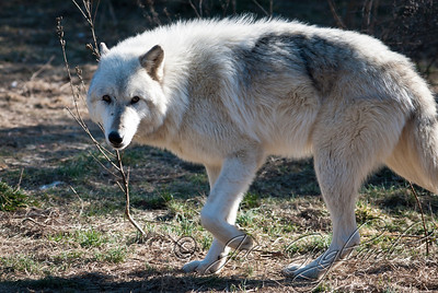 20120107-Wolves-024-11