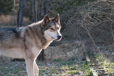 20120107-Wolves-024-15