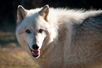 20120107-Wolves-024-7