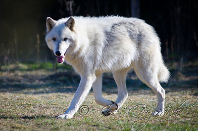 20120107-Wolves-023-118