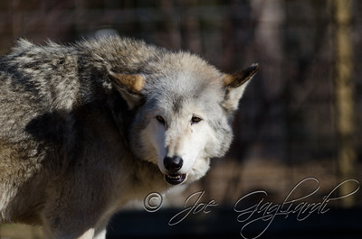 20120107-Wolves-023-94