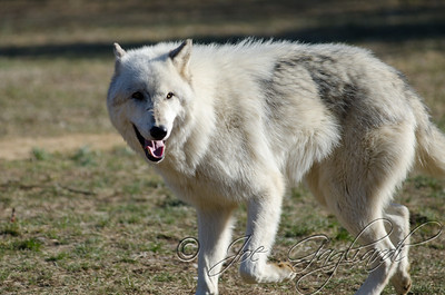 20120107-Wolves-023-106
