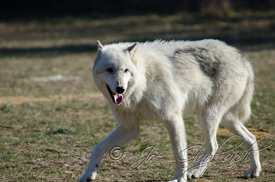 20120107-Wolves-023-105