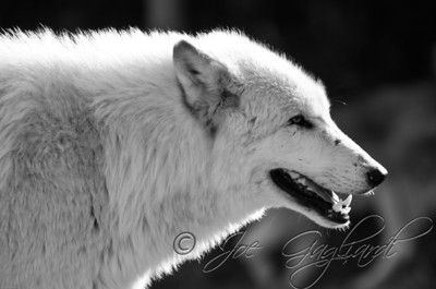 20120107-Wolves-023-16-2