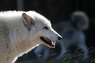 20120107-Wolves-023-16