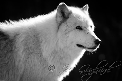 20120107-Wolves-023-18