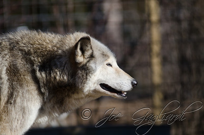 20120107-Wolves-023-91